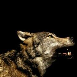startup-wolf